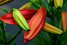 Tomorrow's Lily by Eileen McVey