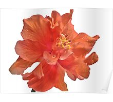Orange Hibiscus - Close-Up Poster
