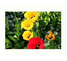 Colourful Tulips! Art Print