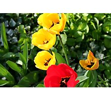 Colourful Tulips! Photographic Print