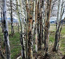 Birch of Many Colors by Kay Kempton Raade