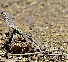 Arizona Zebra-tailed Lizard by Chuck Gardner