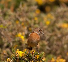 stonechat singing by Jon Lees