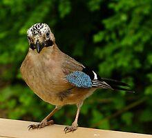 Eurasian Jay by Sanne Hoekstra