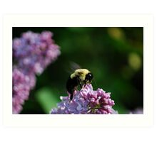 Bumble Bee on the Lilacs Art Print