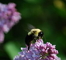 Bumble Bee on the Lilacs by Diane Blastorah