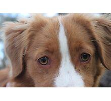 Nova Scotia Duck Tolling Retriever Puppy Photographic Print
