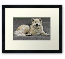 Kayda - German Sheperd/Husky Framed Print