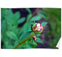 Peony Bud With Ant Poster
