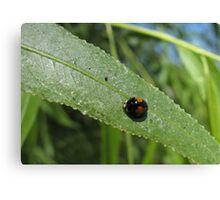 Ashy Gray Lady Beetle (1 of 2 Color Forms) Canvas Print