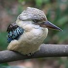 Blue-winged Kookaburra by Jodie Williams