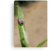 Ashy Gray Lady Beetle II (1 of 2 Color Forms) Canvas Print