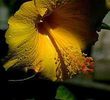 Hibiscus - light and shade......... by Roy  Massicks