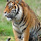 Sumantran Tiger At The Orana Wildlife Park. Christchurch, South Island, New Zealand.(2) by Ralph de Zilva