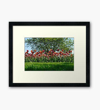 A Tree Among Tulips  Framed Print