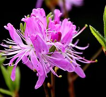 'Wild Azalea' by Scott Bricker