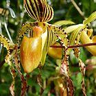 orchid 11 by WonderlandGlass