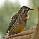 Red Wattlebird by Robert Abraham