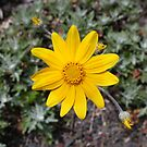 Yellow Daisy in 3 D by Chappy