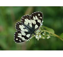 Marbled White Photographic Print