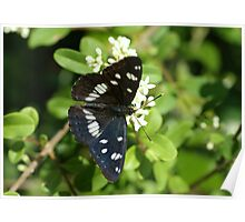Southern White Admiral Poster
