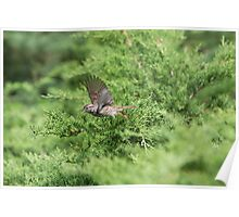 Song Sparrow Inflight Poster