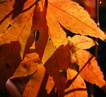 Light and Shade, Japanese Maple, Tumut, N.S.W., Australia. by kaysharp