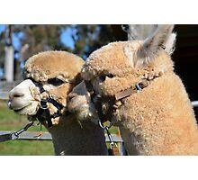 Alpaca's In Love Photographic Print