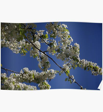 London St James Park blossom Poster