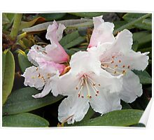 Arctic Rhododendron Poster