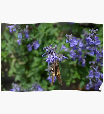 Brown and White Butterfly on Purple Flowers Poster