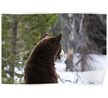 American Black Bear Standing Poster