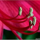 A closeup of Amaryllis by jayant
