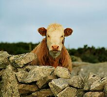 curious cow.. by Michelle McMahon