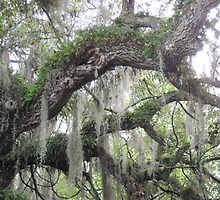 Resurrection Fern in Oak Tree by marshbunny
