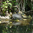 Turtle reflection by solena432