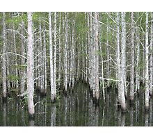 Cypress Trees at the Edge of the Jane Green Swamp Photographic Print