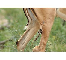 Remarkable Survival Skills - Kruger National Park  Photographic Print