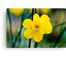 Daffodils at Wisley Canvas Print