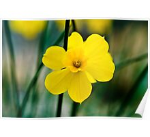 Daffodils at Wisley Poster