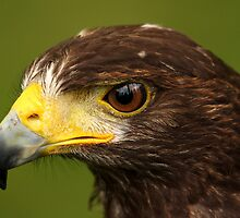 Harris Hawk (Parabuteo Unicinctu) by Mark Hughes