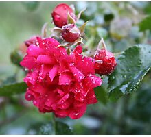 DEEP PINK ROSE Photographic Print