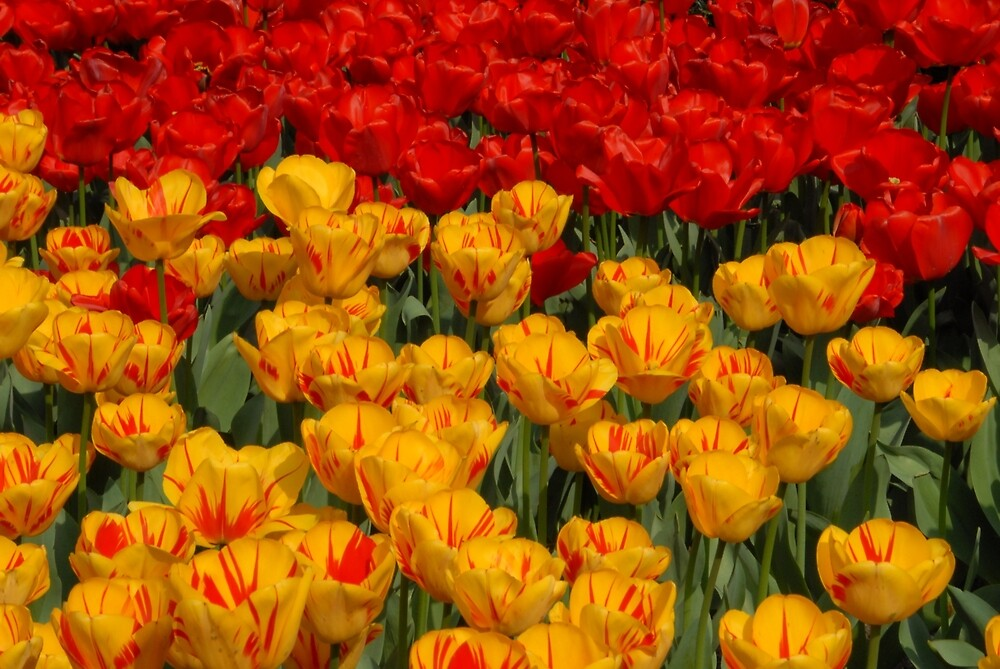 Mass of spring colour - Tulips in London by chriso