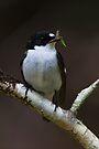 Male Pied Flycatcher by Neil Bygrave (NATURELENS)