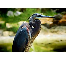 Great Blue Heron-Orlando, Florida Photographic Print