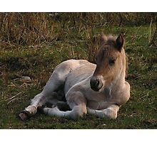 Sleepy Highland Foal Photographic Print