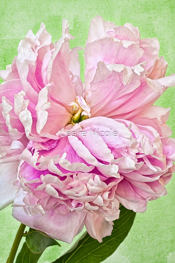 Pretty in Pink Peony by Leslie Nicole