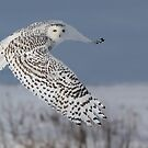 Snowy Owl by MIRCEA COSTINA