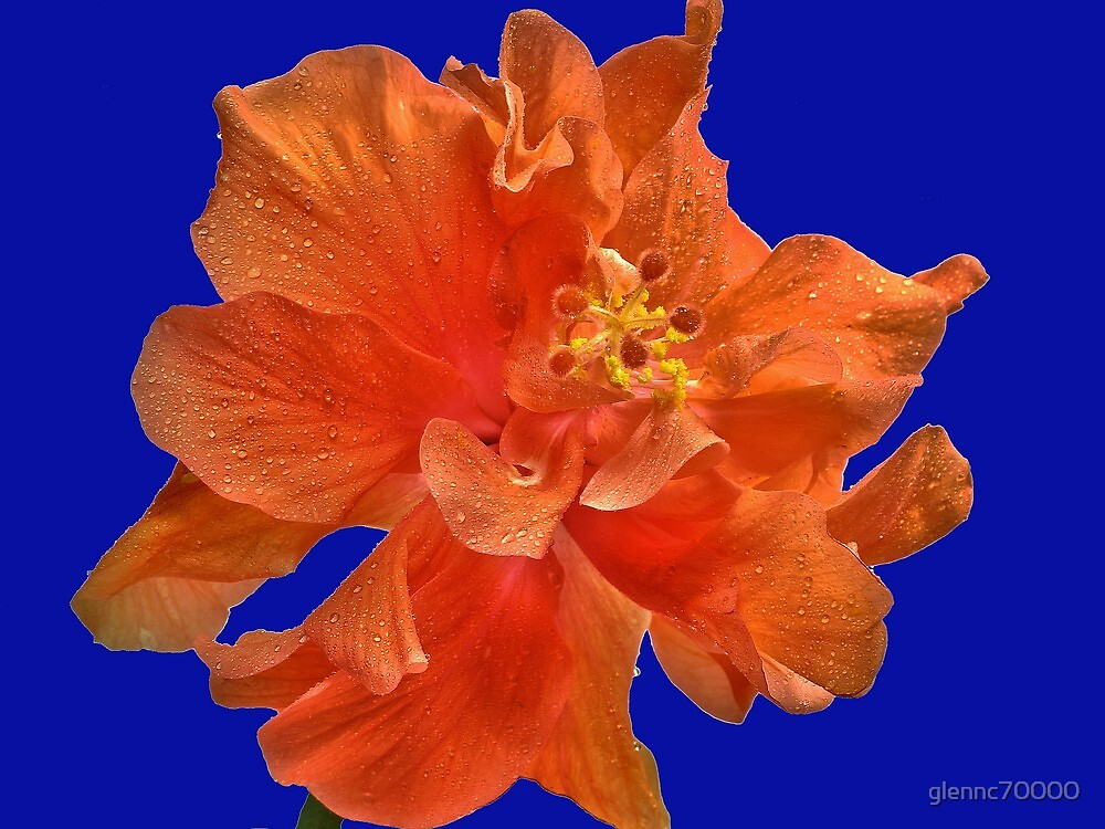 Orange Hibiscus #2 by glennc70000