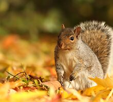 Squirrel in autumn by MIRCEA COSTINA